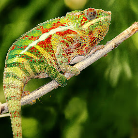 Caméléon multicolor by Gérard CHATENET - Animals Reptiles