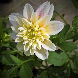 white dahlia by Mary Gallo - Flowers Single Flower (  )