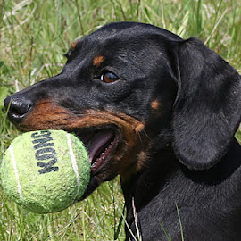Cheeky Frankie by Chrissie Barrow - Animals - Dogs Playing ( ball, smooth, ear, female, mouth, pet, pup, fur, dachshund (miniature smooth), puppy, dog, tan, black, eye,  )