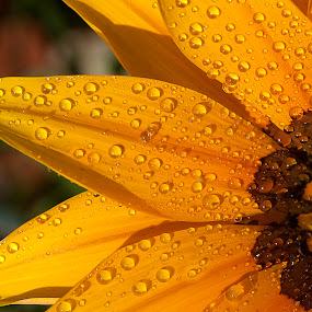 sparkle by Bharat Dudeja - Nature Up Close Flowers - 2011-2013 ( macro, nature, daisy, garden, flower, droplets )