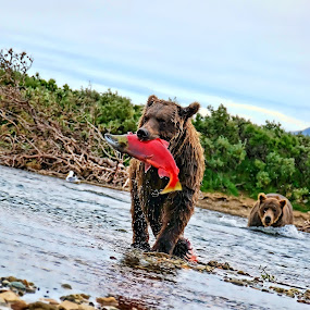 Alaska Salmon Fishing by M & D Photography - Animals Other Mammals (  )