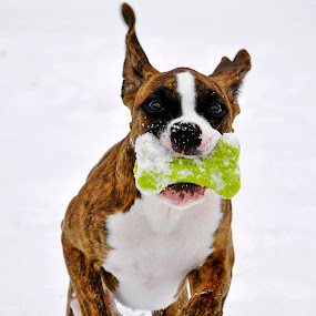 Dojo's Taji Moja Boxer Puppy Playing In The Snow by Donna Nicklas - Animals - Dogs Playing
