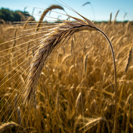 Wheat by Randall Hull - Landscapes Travel ( wheat, food, summer, brown, fuji x30 )
