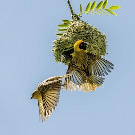 Southern Masked Weaver by Carola De Jager - Animals Birds