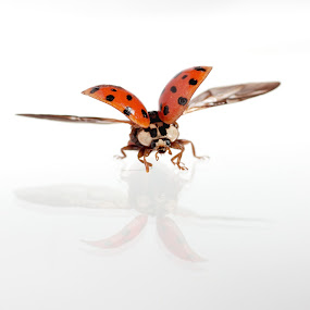 fly by Giovanni De Bellis - Animals Insects & Spiders ( high key, flying, red, white, ladybug )