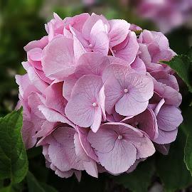 hydrangea by Melissa Davis - Flowers Single Flower ( summer blossum, missysphotography, pink, hydrangea, flower )