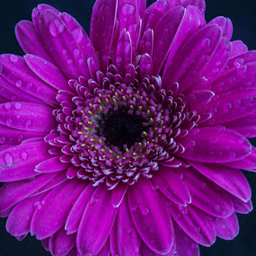 purple gerbera by Bojan Berce - Flowers Single Flower (  )