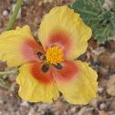 Mountain Horned Poppy
