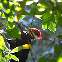 pileated woodpecker (m)