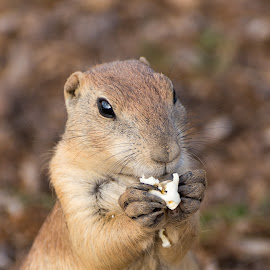 Cutest Prairie Dog by B Grant - Novices Only Wildlife ( prairie dog, nature, nature up close, lubbock, dog, claws, prairie )