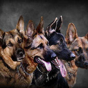 The Pack by Dawn Vance - Digital Art Animals ( animals, dogs, pup, digital art, german shepard, portrait, animal )