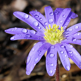 Anemone blanda with raindrops 13 by Val  Ford - Nature Up Close Flowers - 2011-2013