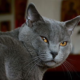 Hugo thinking by Serge Ostrogradsky - Animals - Cats Portraits ( chartreux cat,  )