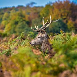 Buck-king by Toni Mares - Animals Other Mammals ( nature, london, buck, richmond park, animal, deer,  )