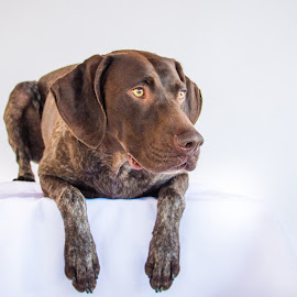 stalking by Meaghan Browning - Animals - Dogs Portraits ( studio, german shorthaired pointer, pouce, pointer, gsp )