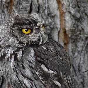 Wood Owl Camo6 refresh.JPG