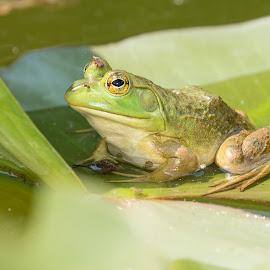 by Karen E. Brown - Animals Amphibians ( water, habitat, nature, frog, bullfrog, green, amphibian, wildlife, lily pad, insect, pond )