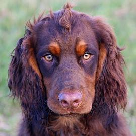 Close to Dax by Chrissie Barrow - Animals - Dogs Portraits ( cocker spaniel, pet, pup, fur, ears, brown, dog, nose, tan, closeup, portrait, eyes )