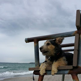Beach Bum Lifeguard puppy on duty... But NEVER  by Lifes A Beach - Animals - Dogs Puppies