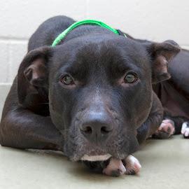 Korbin - A Shelter Dog by Ginger Wlasuk - Animals - Dogs Portraits ( shelter, rescue, pit bull, terrier, dog )