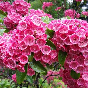 Pretty in Pink by Sandy Hogan - Flowers Flower Gardens ( pink flowers, flower garden, mountain laurel, flowering bush, pink, flower photography,  )