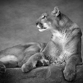 Cougar Lounges by Shawn Thomas - Black & White Animals