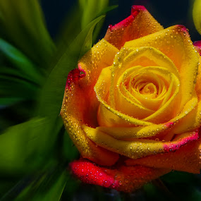 Burnt Orange by Dave Walters - Flowers Single Flower ( rose, nature, colors, flowers, lumix fz2500,  )