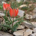 Sun's-eye Tulip