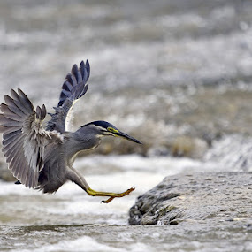 Little Heron by Young Sung Bae - Animals Birds ( landing approach, little heron, pwctaggedbirds, nam yang ju )