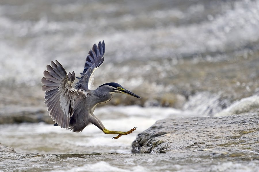 Little Heron by Young Sung Bae - Animals Birds ( landing approach, little heron, pwctaggedbirds, nam yang ju )