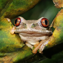 Hi There by David Knox-Whitehead - Animals Amphibians ( frog, green, amphibian, yellow, eyes )