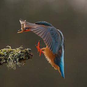 Good Catch by Charlie Davidson - Animals Birds ( bird, scotland, nature, kingfisher, wildlife )