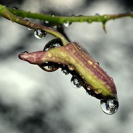 Kuncup berembun by Sufian Abdullah - Nature Up Close Trees & Bushes