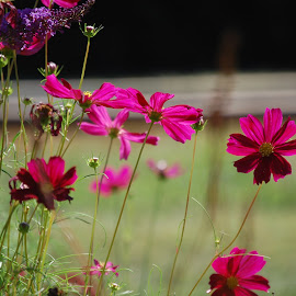 Cosmos by Angel Harvey - Novices Only Flowers & Plants ( cosmos, pink, flowers )