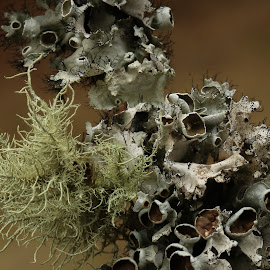 Lichen by Nancy Merolle - Nature Up Close Mushrooms & Fungi ( mold, nature, trees, close up, lichen )