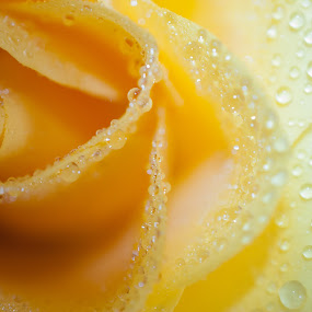 Yellow Rose Petals by Marc Rossmann - Nature Up Close Flowers - 2011-2013 ( water, rose, drops. macro, petals, yellow, close )