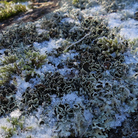 Snow dusted by Glenda Clausen - Nature Up Close Other plants ( patterns, lichens, snow, mosses, granite )