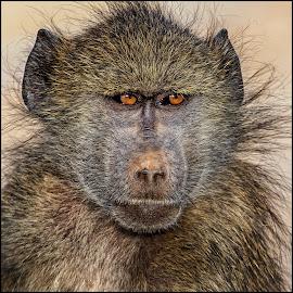 by Denis Smit - Animals Other Mammals