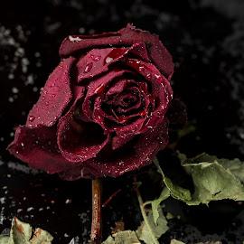 rose by Mona Martinsen - Digital Art Things