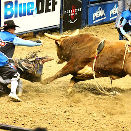 Beast vs Cowboy by Brian  Shoemaker  - Sports & Fitness Rodeo/Bull Riding ( bull rider, rank, cowboy, bullfighter, rodeo, mean, bull, this may hurt, bullriding problems )