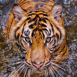 Steering at You... by Vincent Sinaga - Animals Lions, Tigers & Big Cats ( tiger, steering, sumatran tiger, mammal, animal )