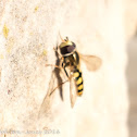 Migrant Hoverfly?