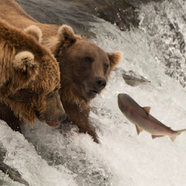 Salmon jumps towards two bears on waterfall by Nick Dale - Animals Other Mammals ( water, grizzly, bear, animals, fish, waterfall, alaska, brooks falls, wildlife, brooks camp, katmai, brown bear, predator, falls, salmon, fishing, catching, grizzly bear, river )