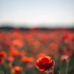 Lest We Forget by Peter Rollings - Flowers Flowers in the Wild (  )