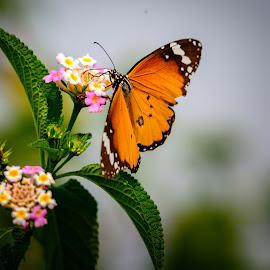 Butterfly on flower by Ebenezer Jeyakumar - Nature Up Close Gardens & Produce ( butterfly, orange, sky, flowering, butterfly on flower, green leaves, sky view, nectar, leaves, flowers, floral, flower,  )