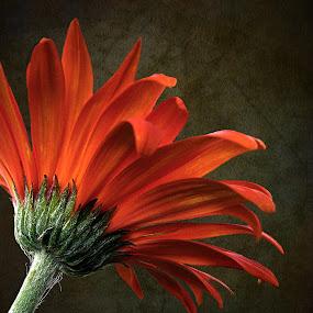 ORANGE BEAUTY by Sharon Pierson - Nature Up Close Flowers - 2011-2013 ( orange, texture, daisy, gerber, flower, nature, flowers )