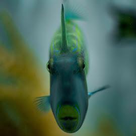 fish by Zac Rushbrook - Animals Fish ( eys, sharp, blue, fish, sea )