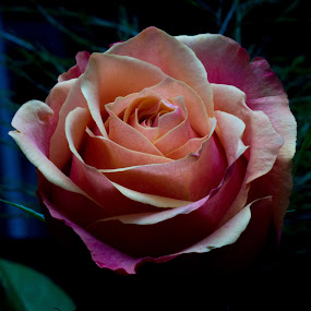 Soft Rose by Camruin Kilsek - Nature Up Close Gardens & Produce ( rose salmon fuschia )