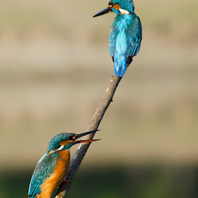 Fishing in Pair by Nirupam Roy - Animals Birds ( nirupam photography common kingfisher., athis, alcedo )