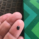 Signate Lady Beetle